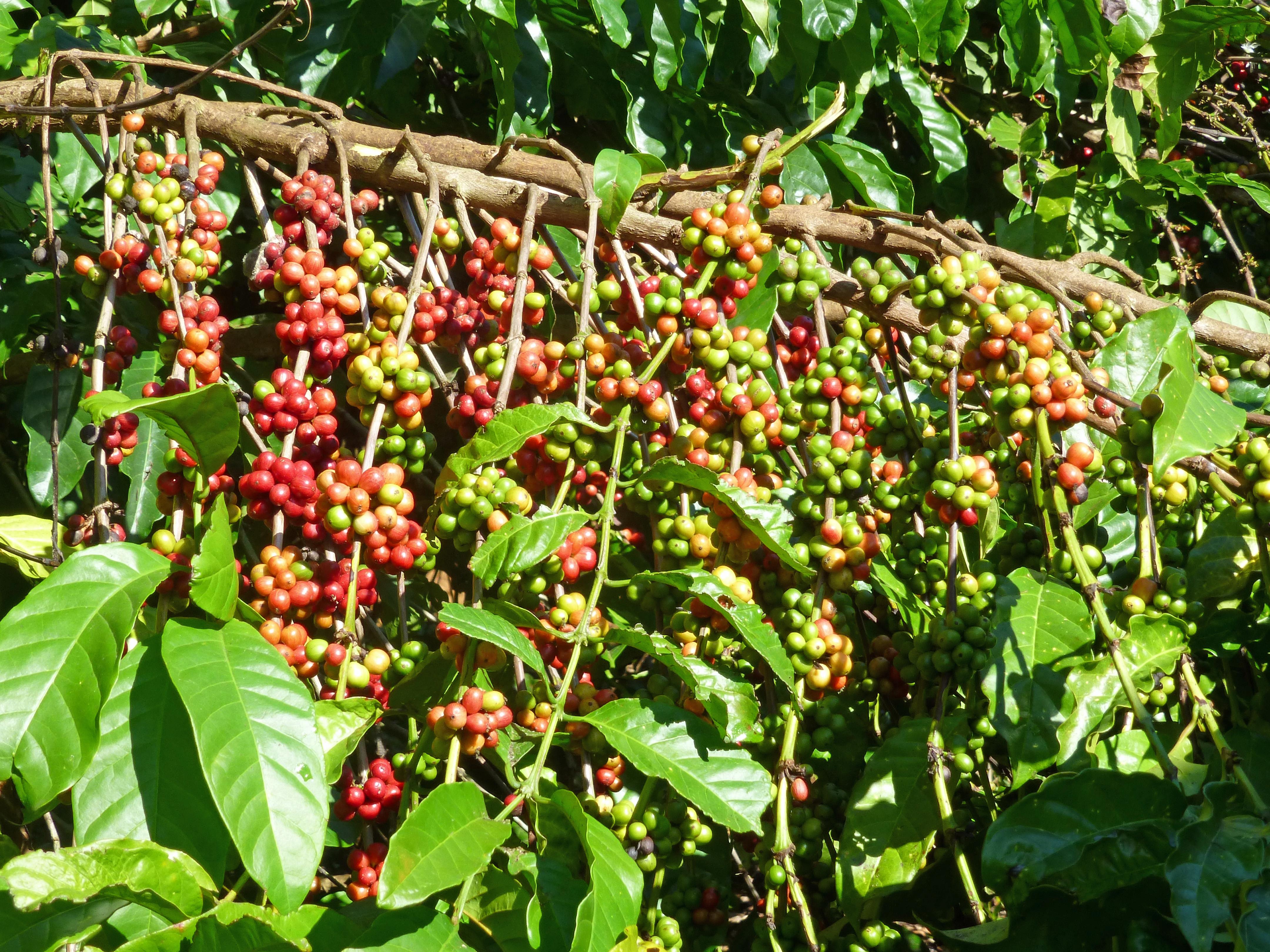Coffee Tree Cafe