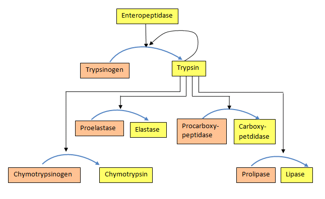 File:Zymogen activation.png