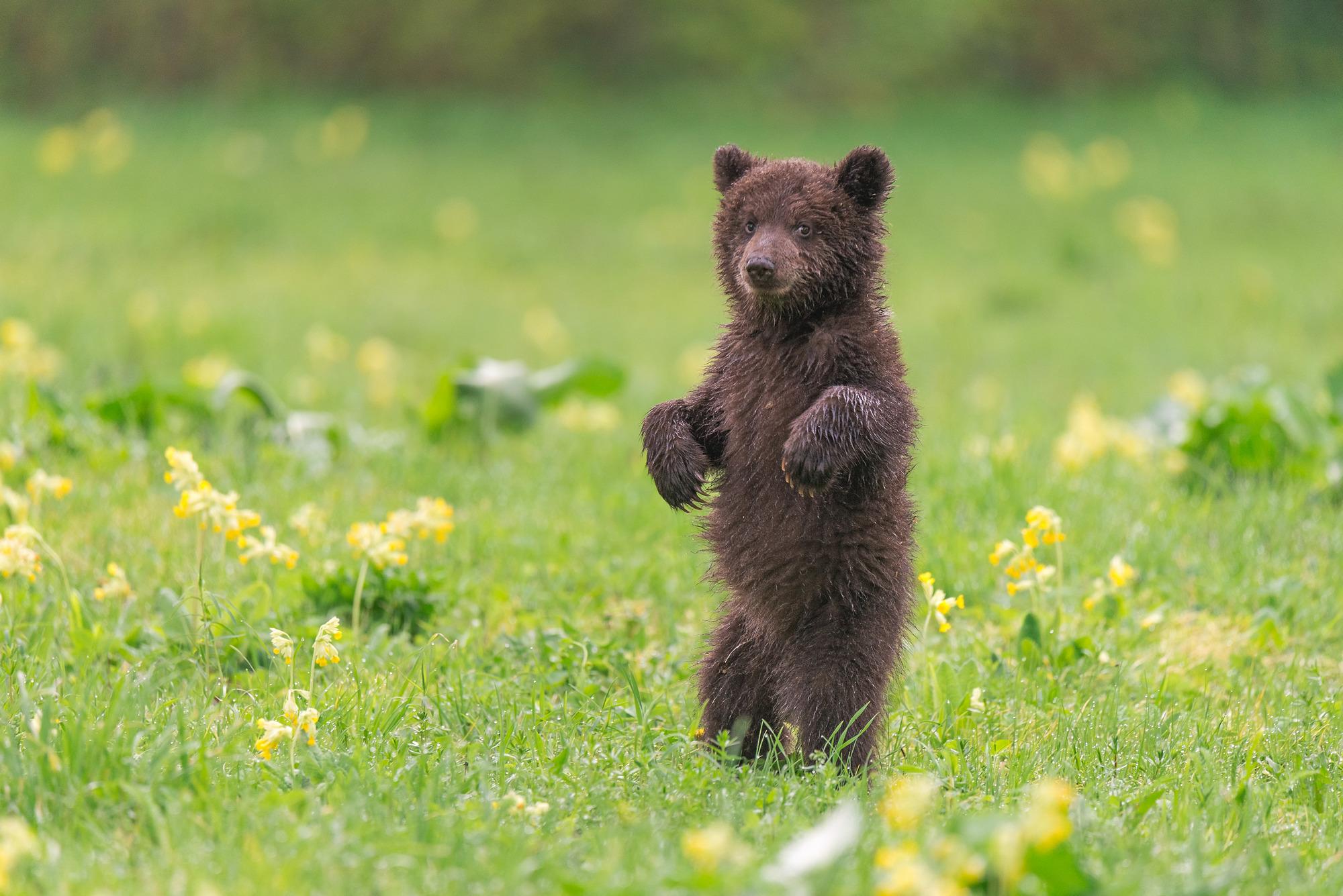 красивые картинки медвежат увлекается экстремальными