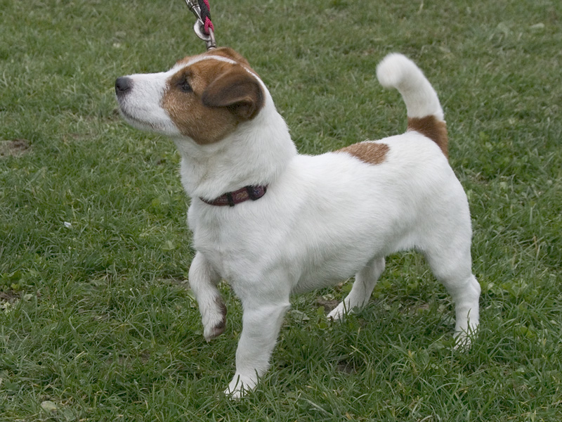 Are Jack Russells Good With Other Dogs