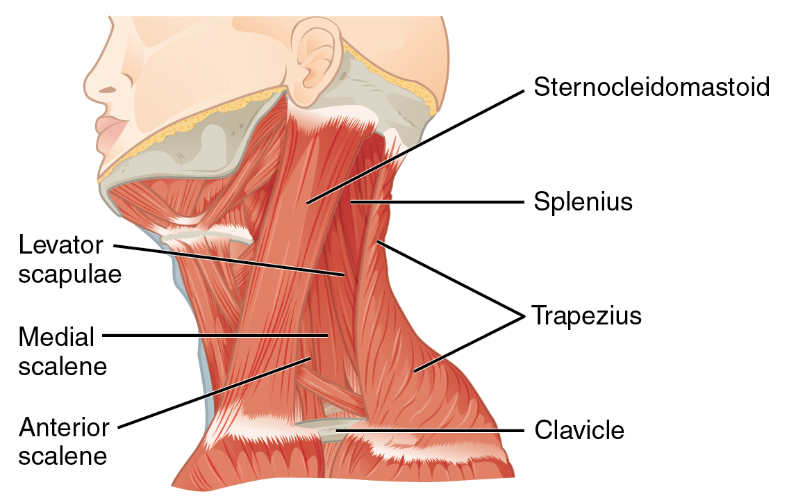 File1117 Muscles Of The Neck Left Lateralg Wikimedia Commons