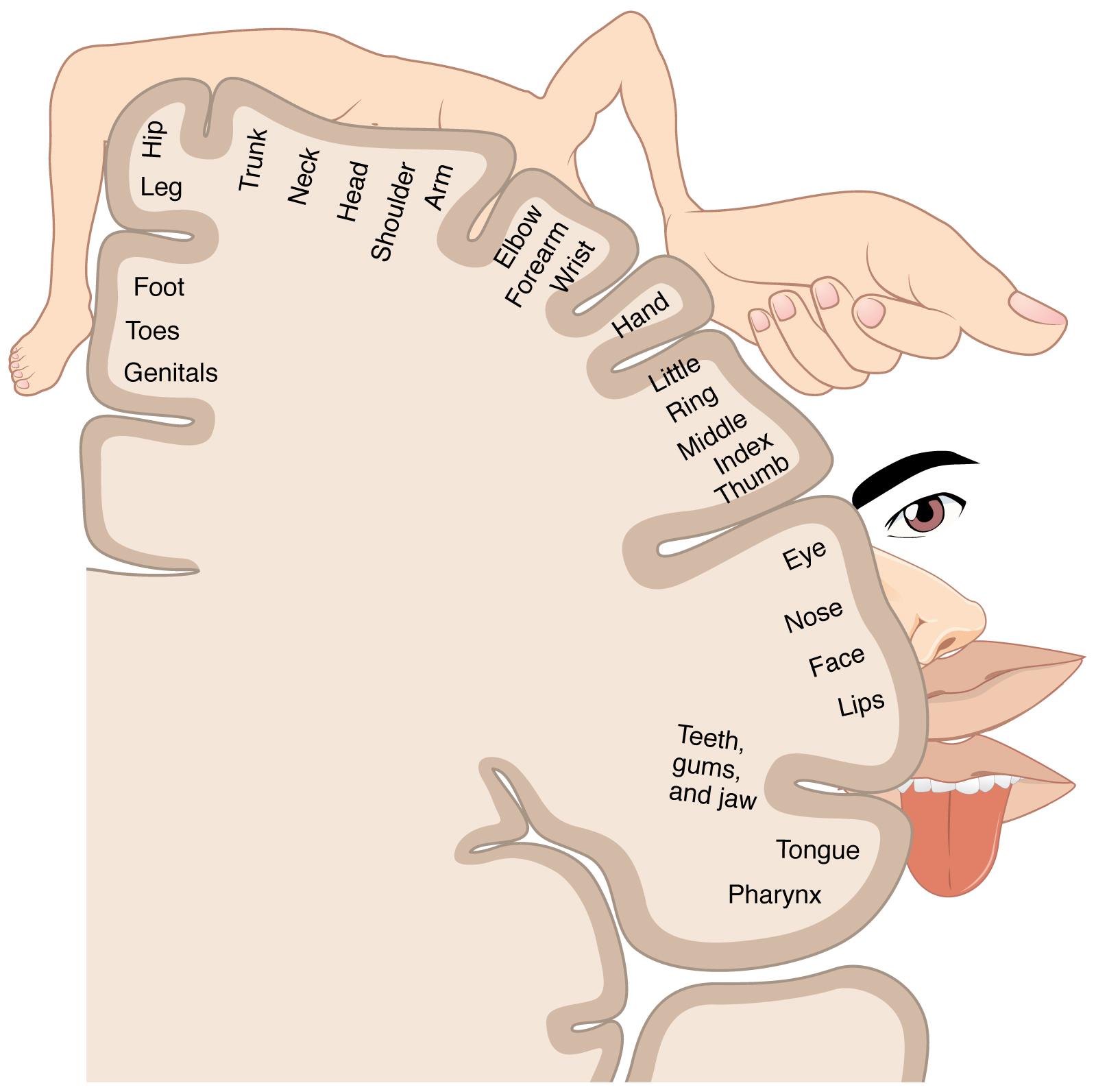 Cortical homunculus - Wikiwand