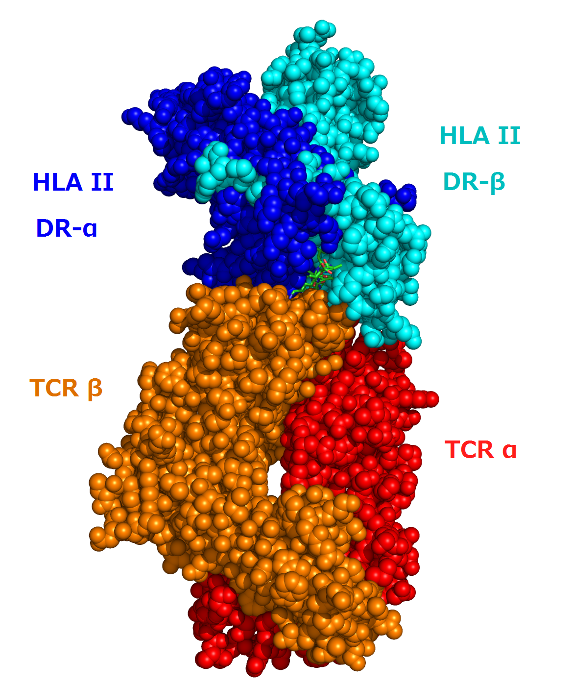 1FYT T-cell receptor and HLA class II complex.png