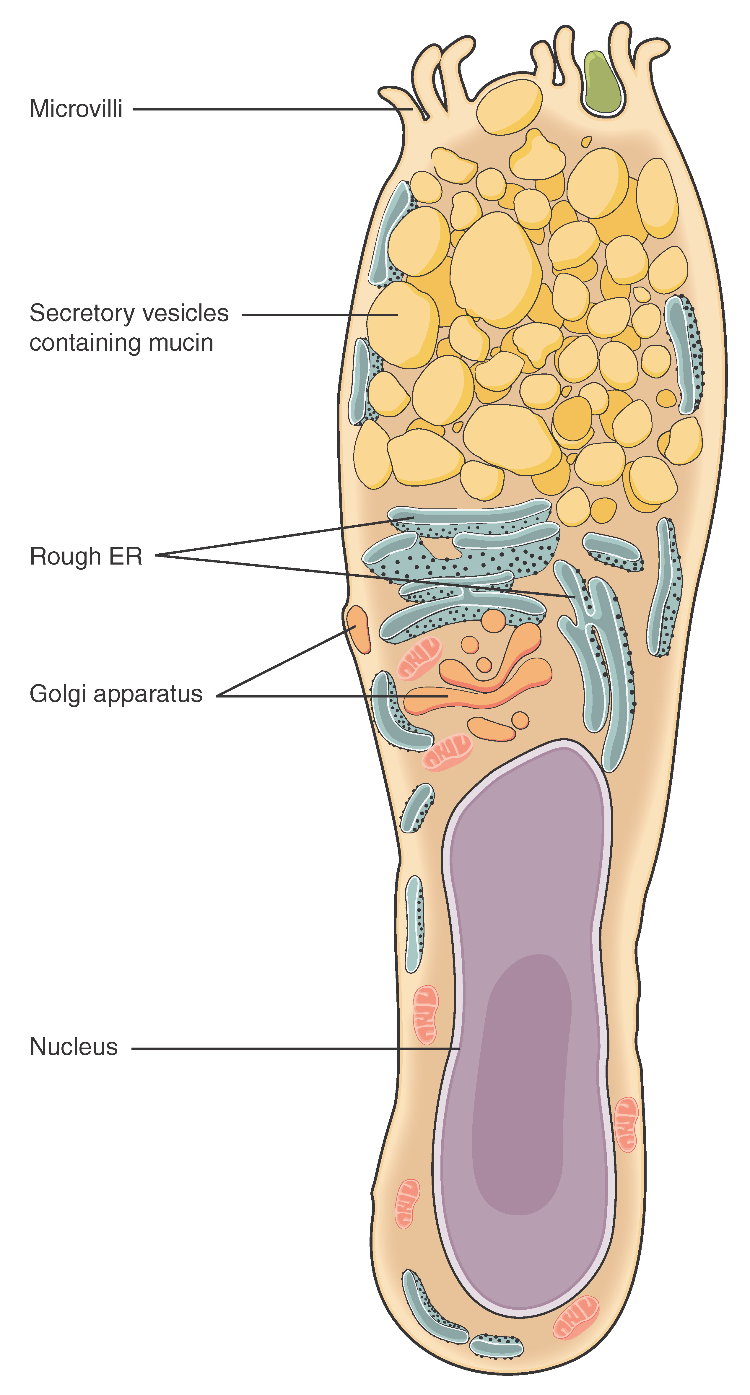 file 404 goblet cell new jpg wikimedia commons rh commons wikimedia org Animal Cell Diagram Human Cell Diagram Labeled