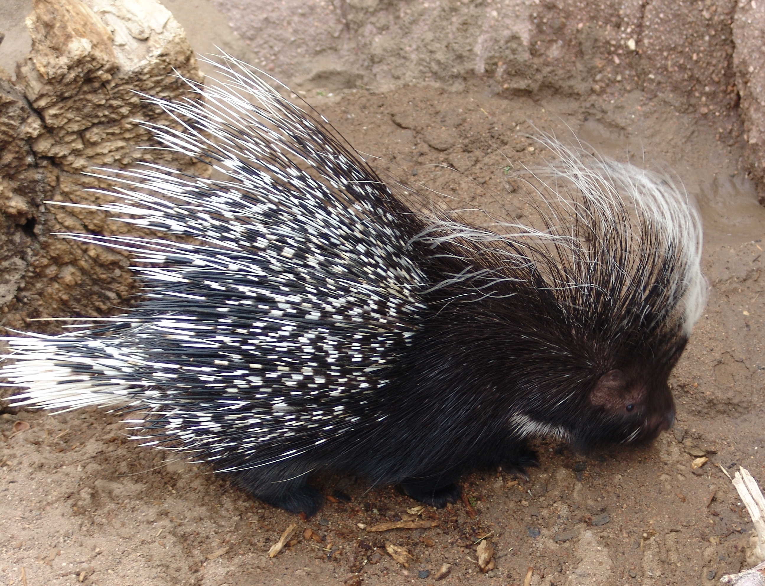 By Drew Avery (African crested Porcupine {Hystrix cristata}) [CC-BY-2.0 (http://creativecommons.org/licenses/by/2.0)], via Wikimedia Commons