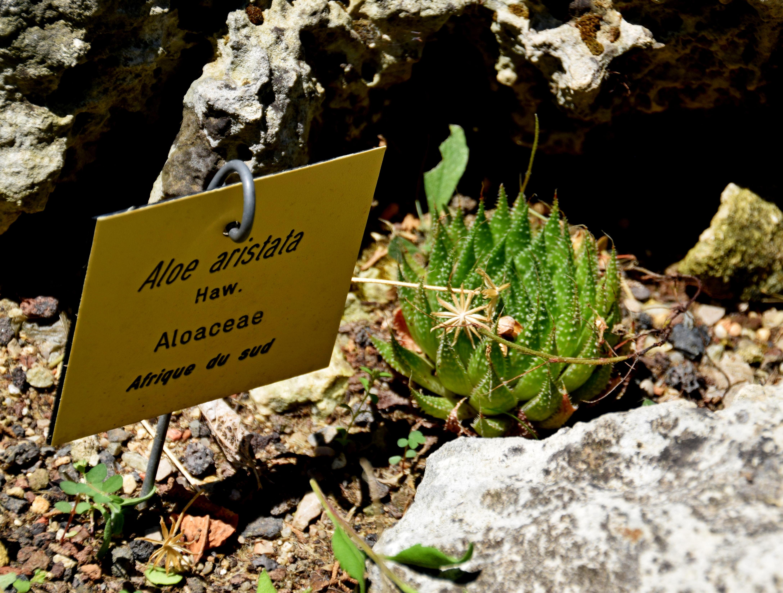 File Aloe aristata in Jardin des plantes de Montpellier 01