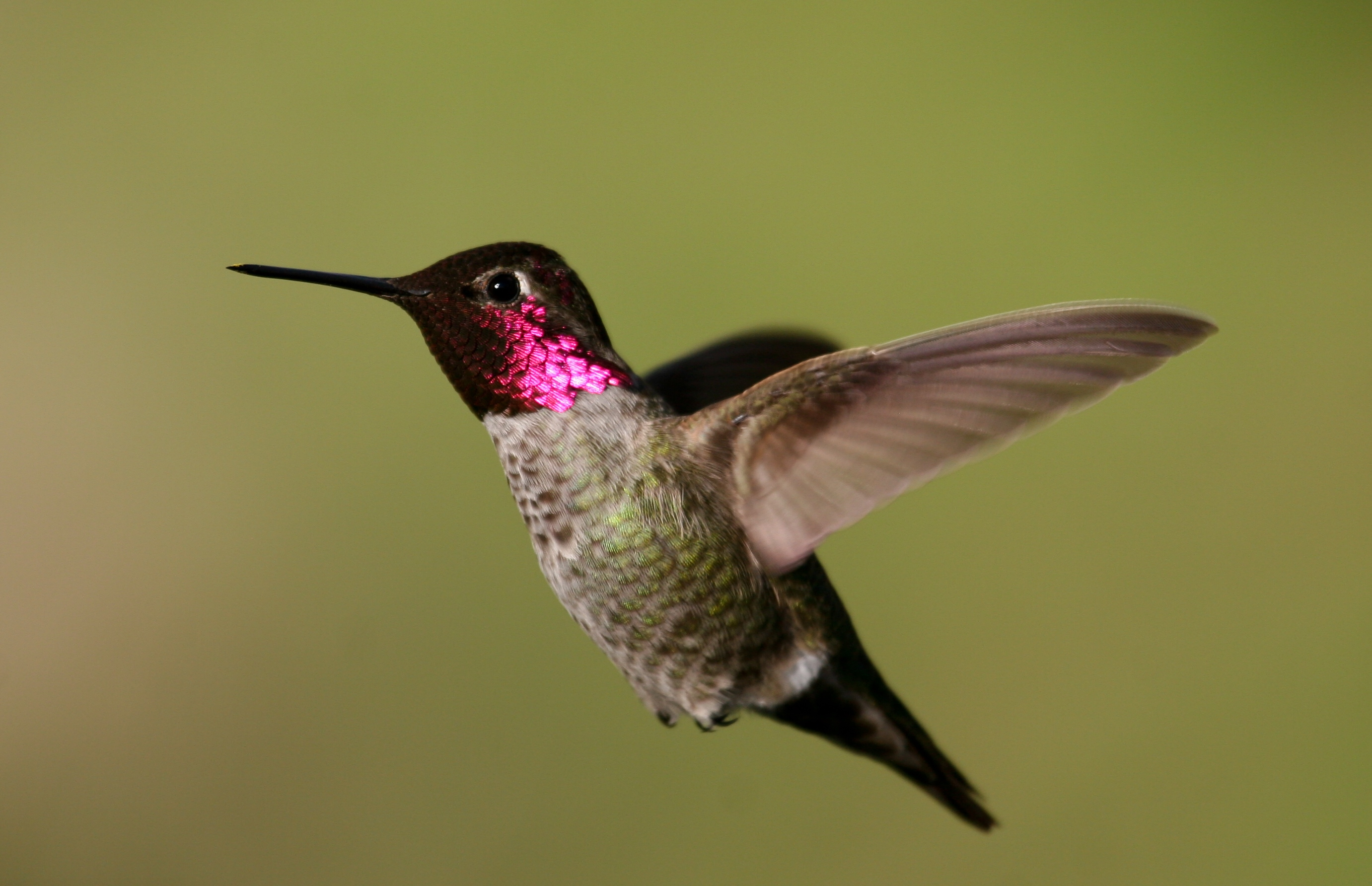 Image result for anna's hummingbird