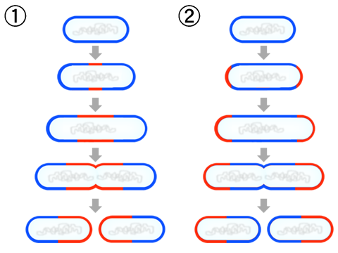 Bacilli division diagram