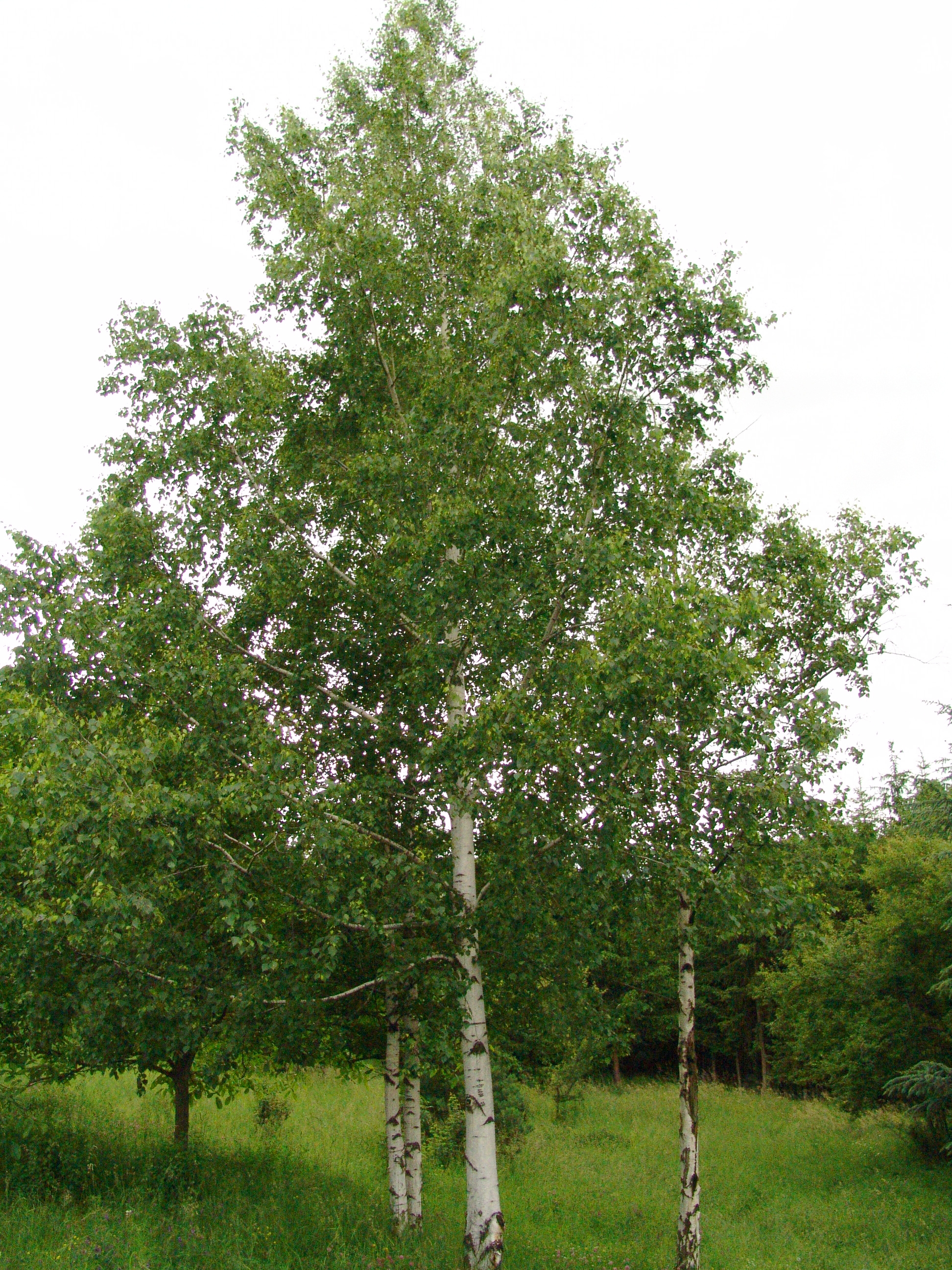 file betula pendula tree wikimedia commons. Black Bedroom Furniture Sets. Home Design Ideas