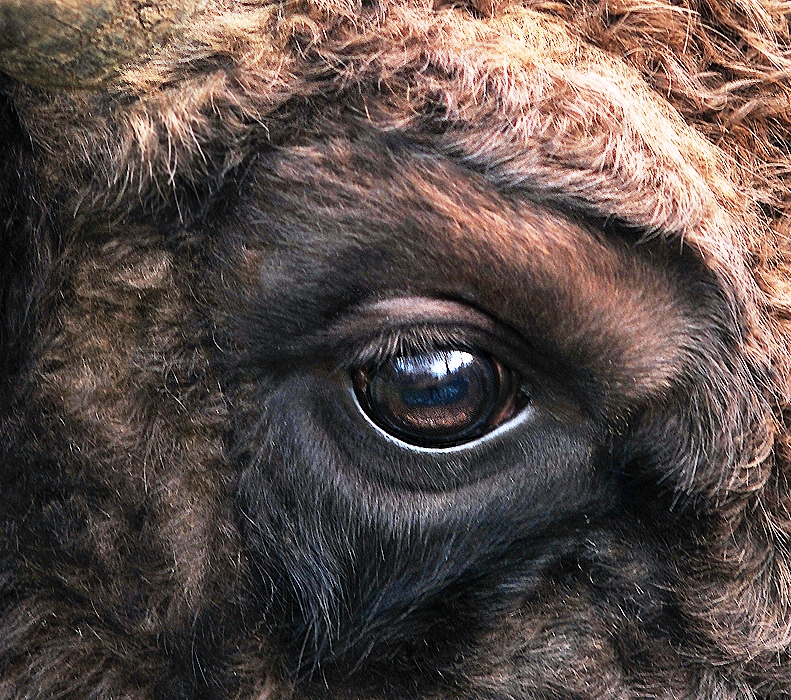 File:Bison bonasus right eye close-up.jpg - Wikimedia Commons