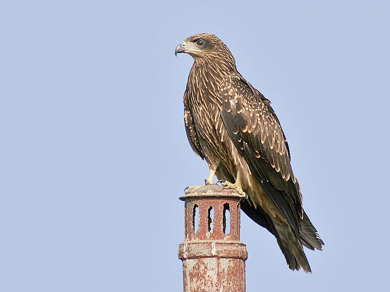 File:Black Kite I2 IMG 0992.jpg - Wikimedia Commons