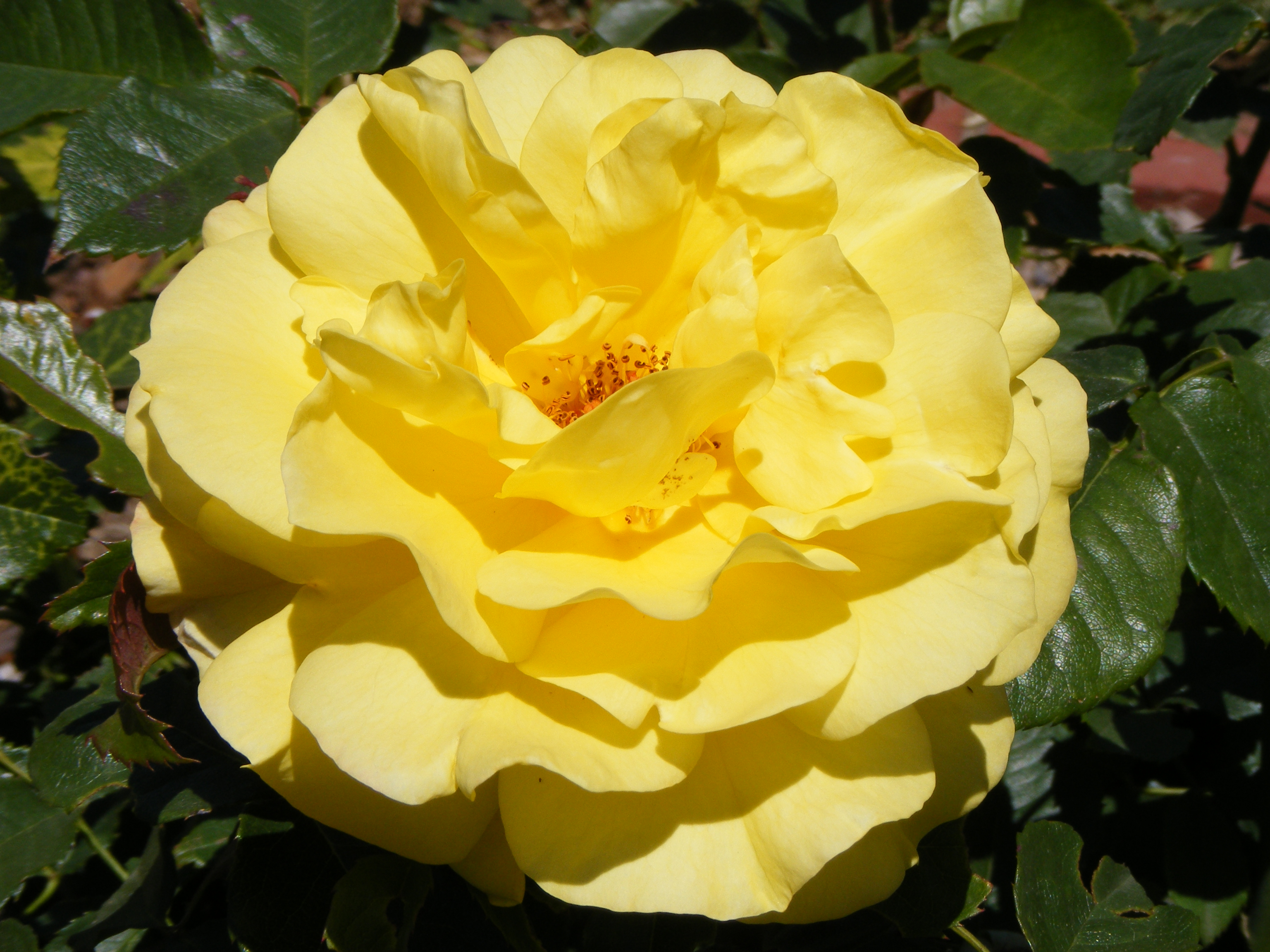 File:Bright yellow rose.jpg