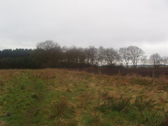 Broadleaf Trees next to Pine Trees in Wheldrake Wood - geograph.org.uk - 373808