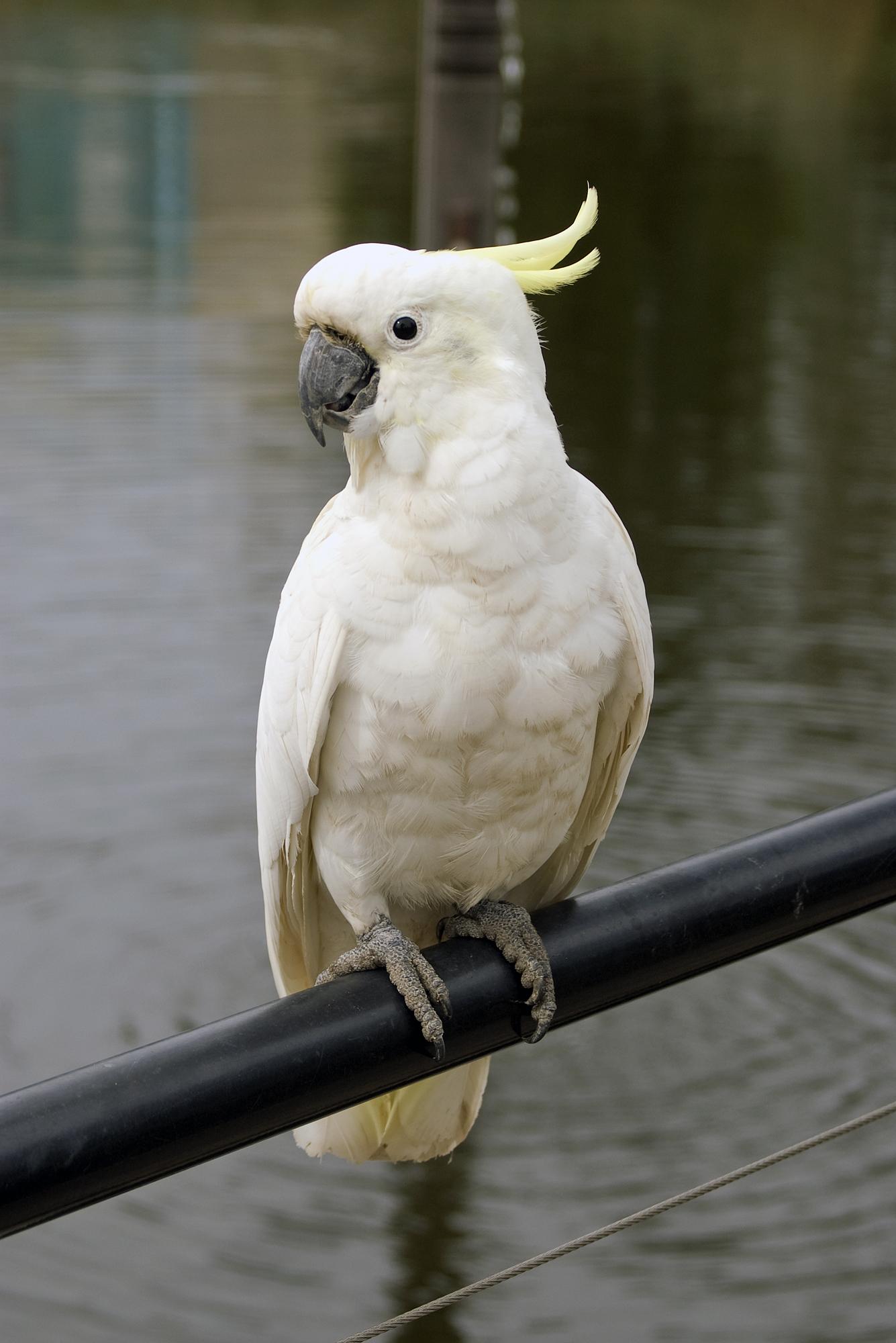 Peekaboo cockatoo