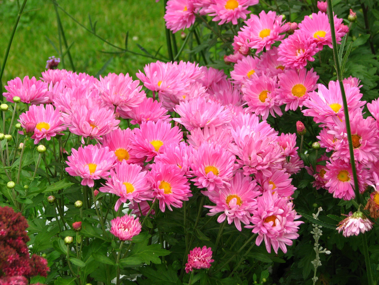 Садовые цветы однолетних фото и описание