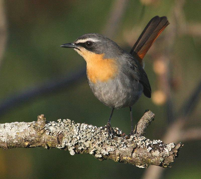 cape robin chat wikipedia