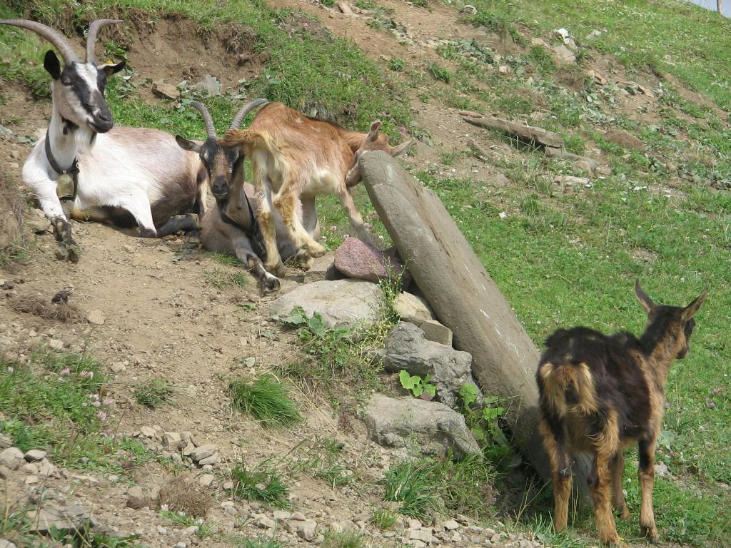 d095cb58a Koza domáca – Wikipédia