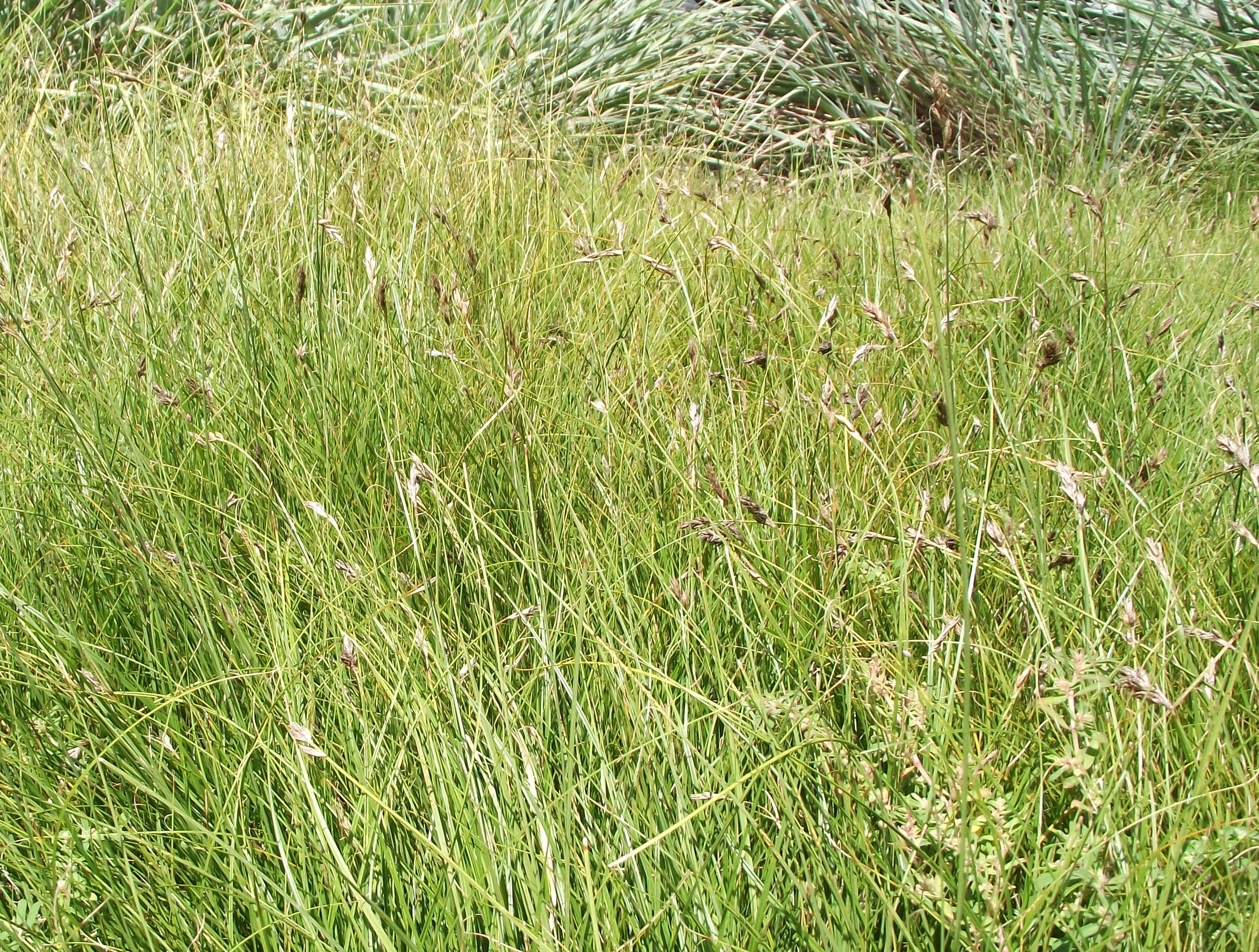 Picture of Live California Meadow Sedge aka Carex pansa Plant Fit 1 Gallon Pot