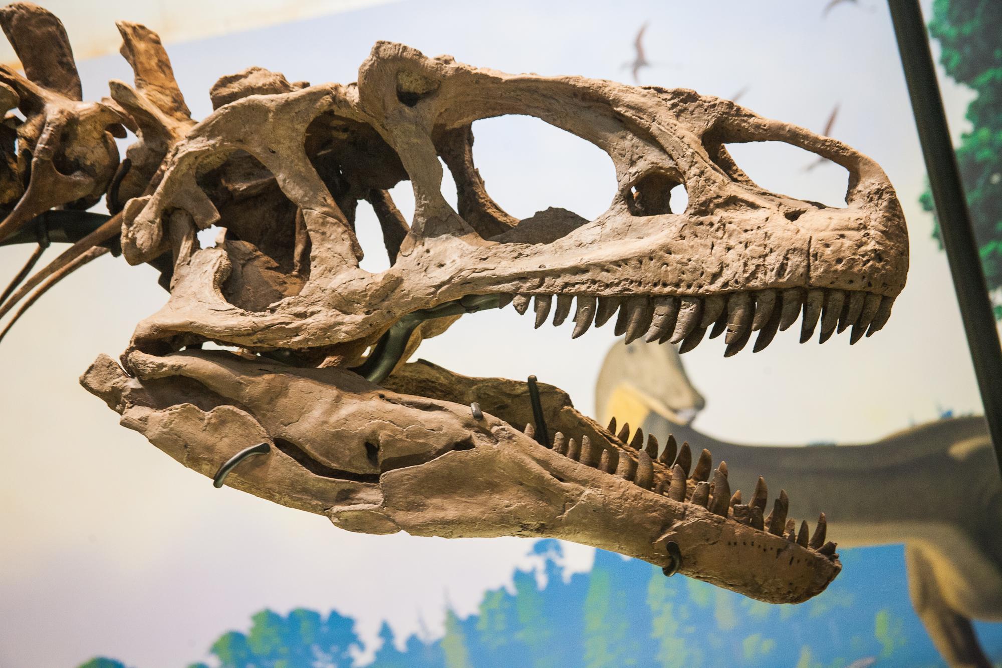 file carnegie allosaurus skull jpg wikimedia commons things we do for love jaime lannister things we do for love