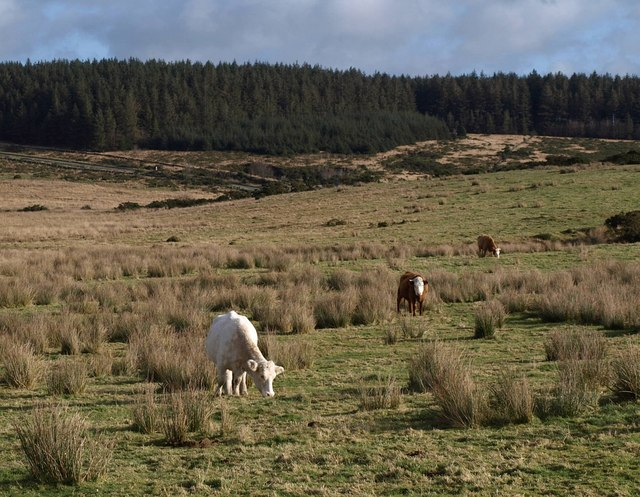Cattle, Powder Mills - geograph.org.uk - 1590596.jpg
