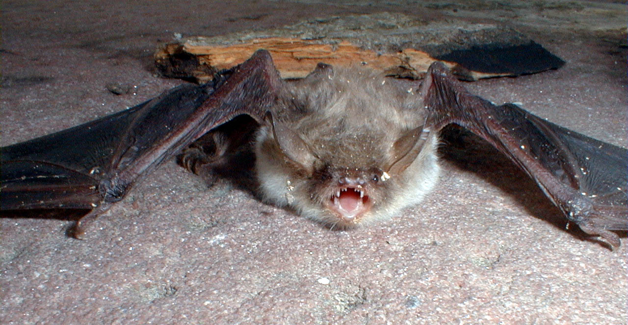 Size of this preview: 800 × 415 pixels . Other resolutions: 320 ...: commons.wikimedia.org/wiki/File:Chiroptera_02.jpg