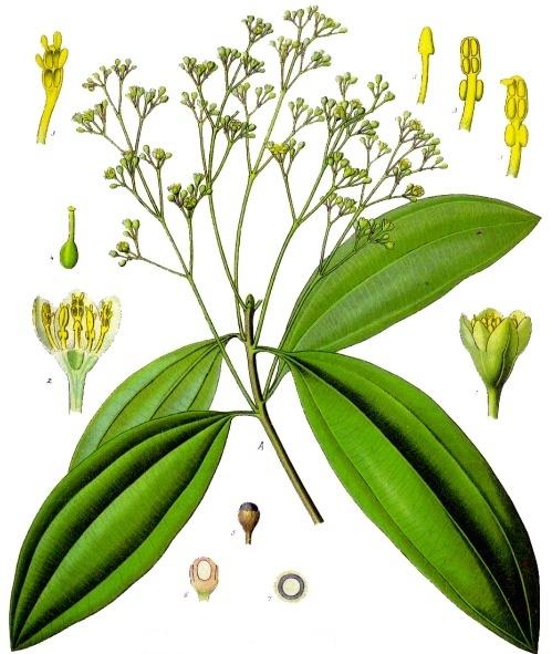 Cinnamomum aromaticum - Köhler–s Medizinal-Pflanzen-039 cropped