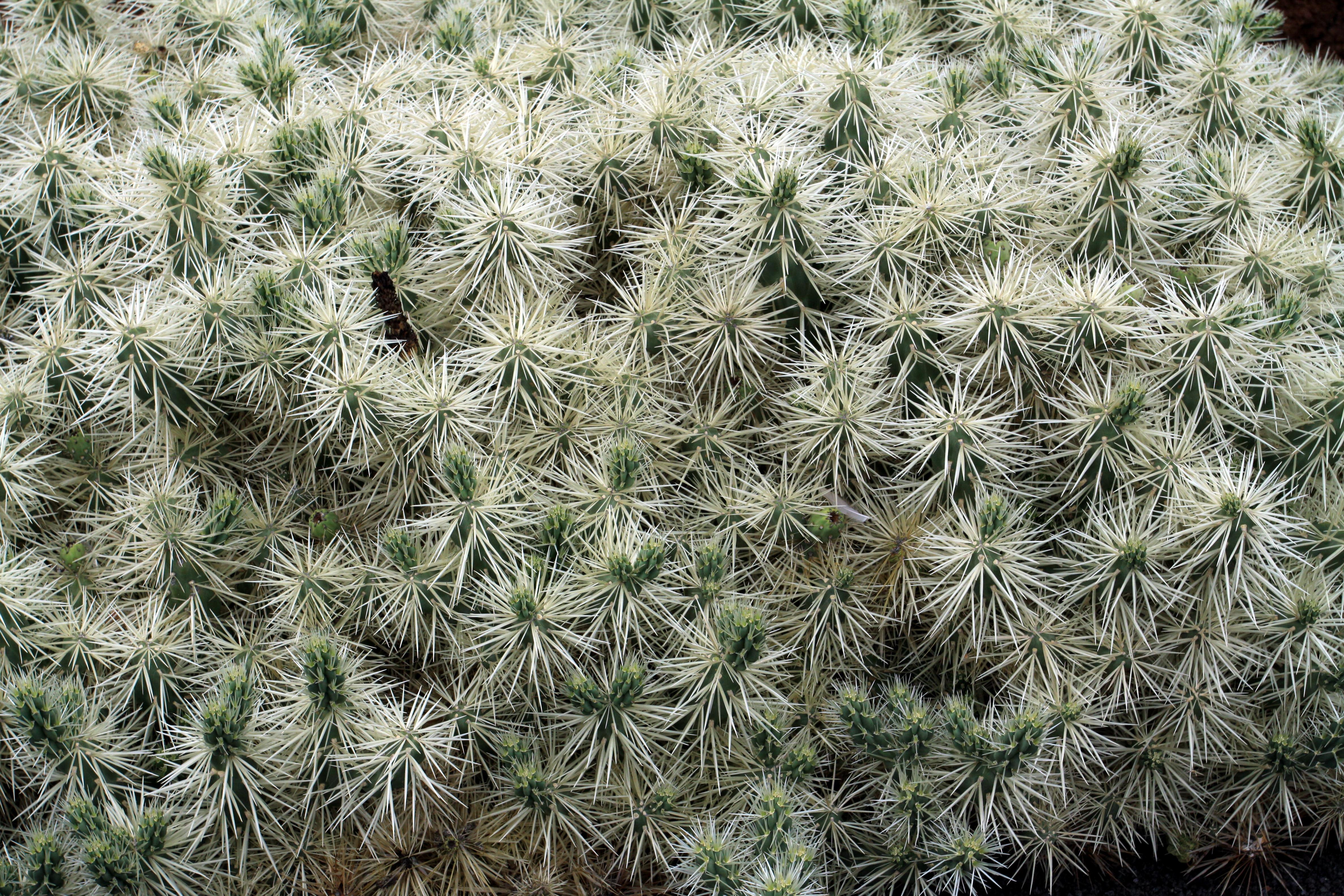 File cylindropuntia tunicata in jardin de cactus on for Jardin de cactus lanzarote