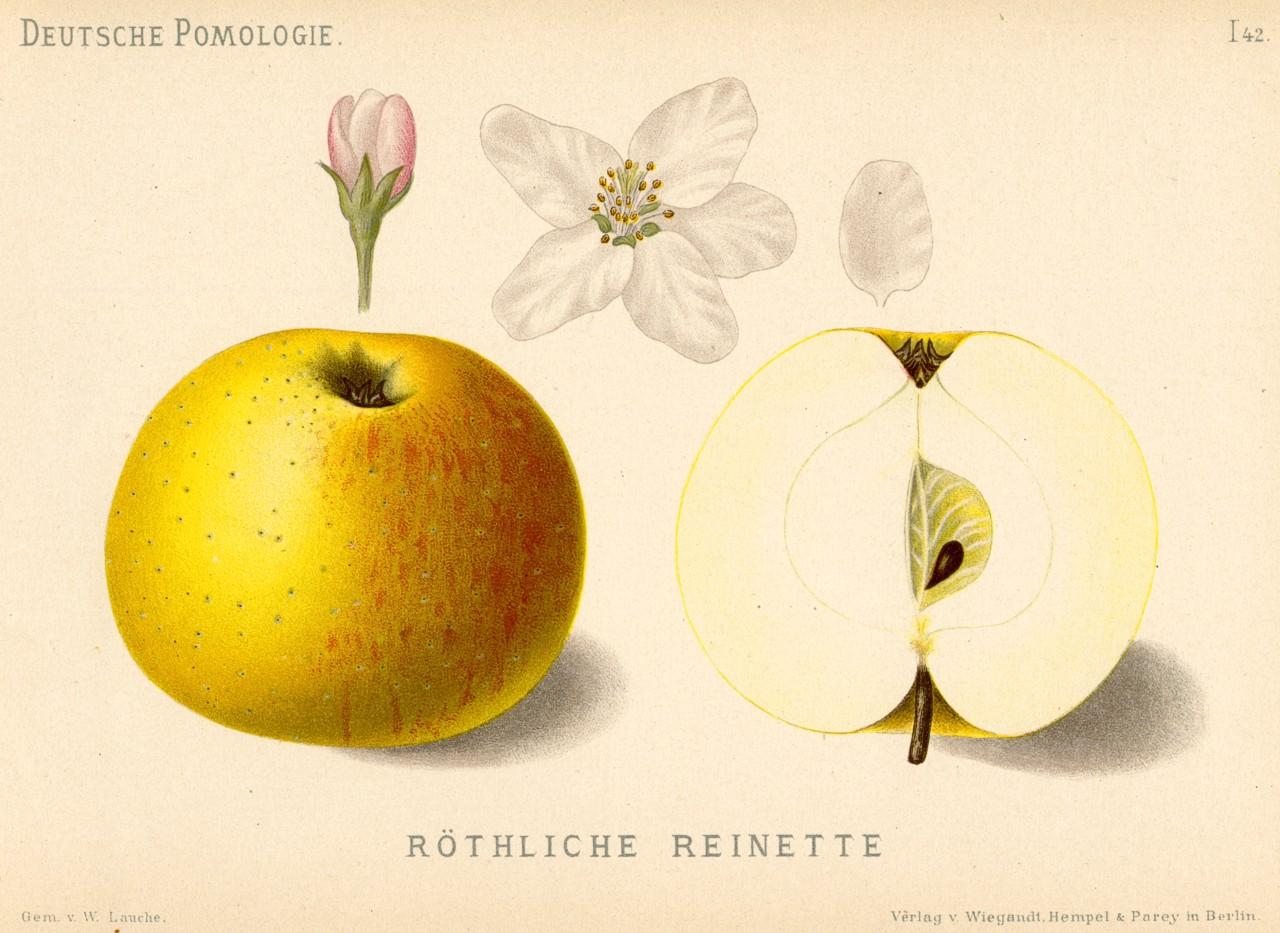 Pomme De Reinette Et Pomme D Api Wikipédia