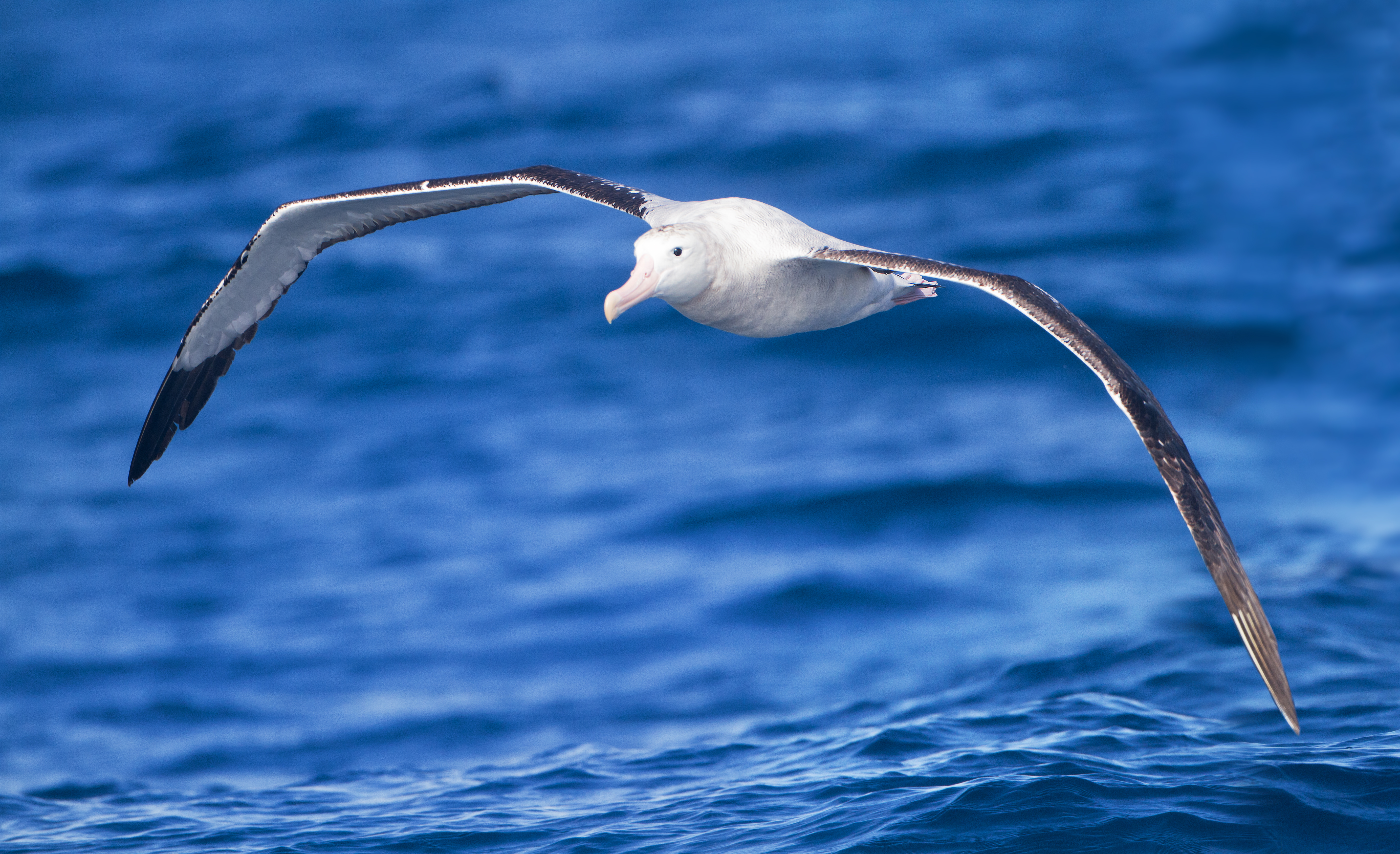 Albatross flying over the surface of bright blue water