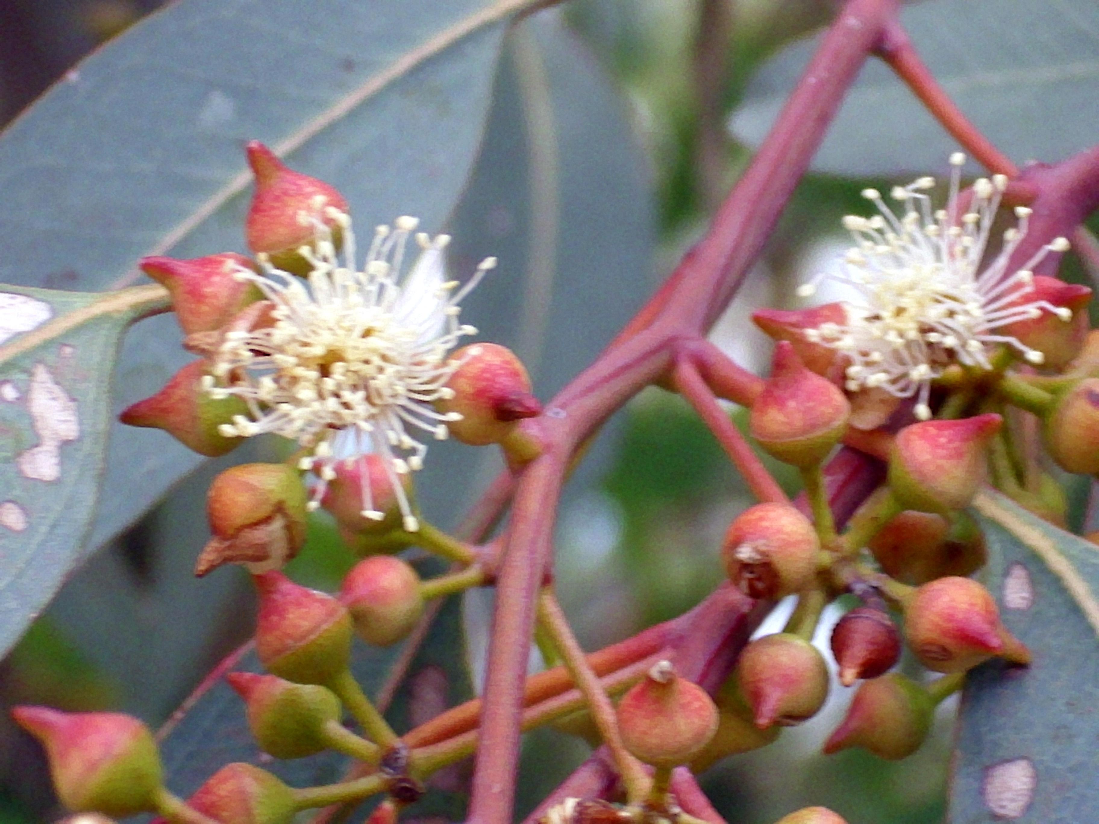 File:Eucalyptus Camaldulensis CapsulasFlorales 2010-6-17