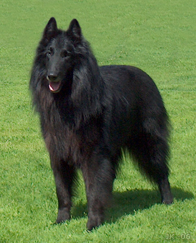 ABCs of Animal World: All-Black Breeds of Dog