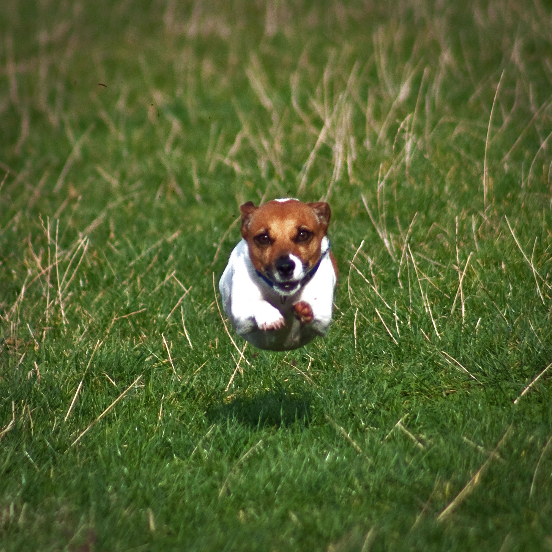 Description flying jack russell terrier