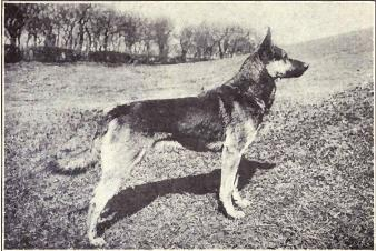 German Shepherd Dog from 1915