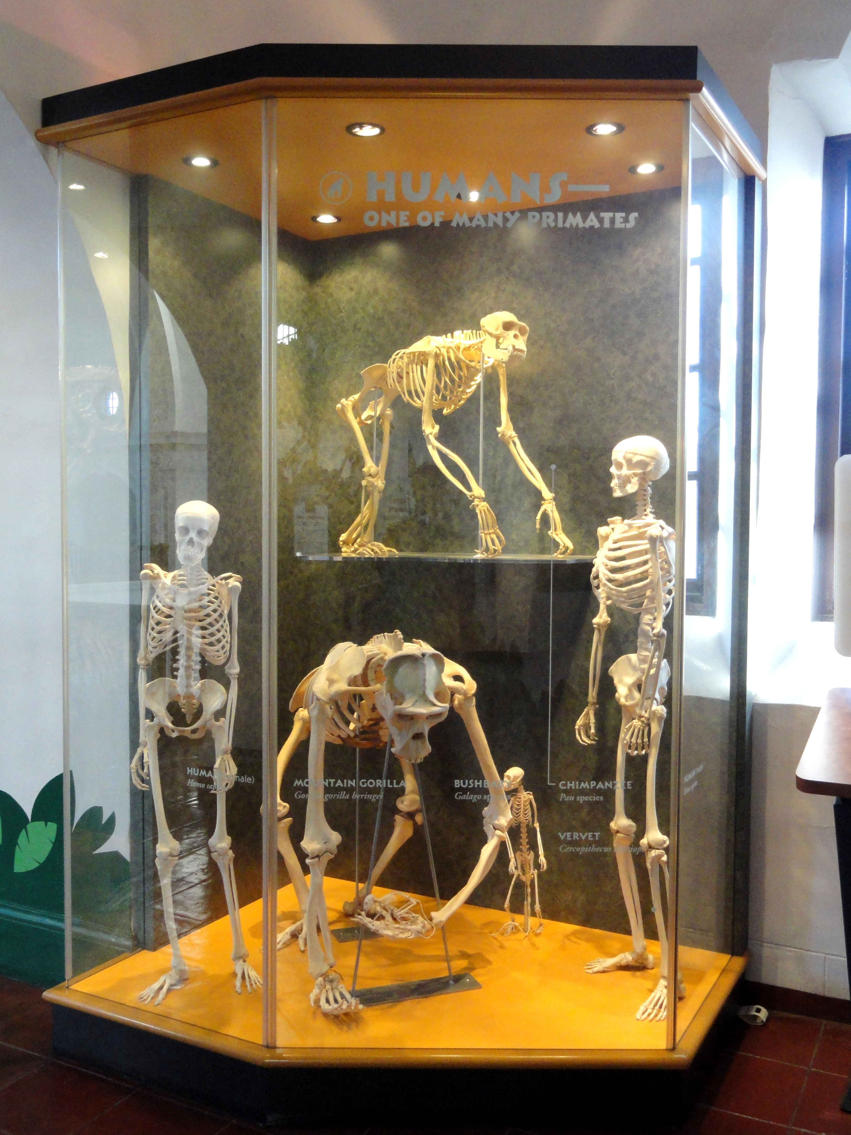 File:Gigantopithecus blacki, model - San Diego Museum of Man ...