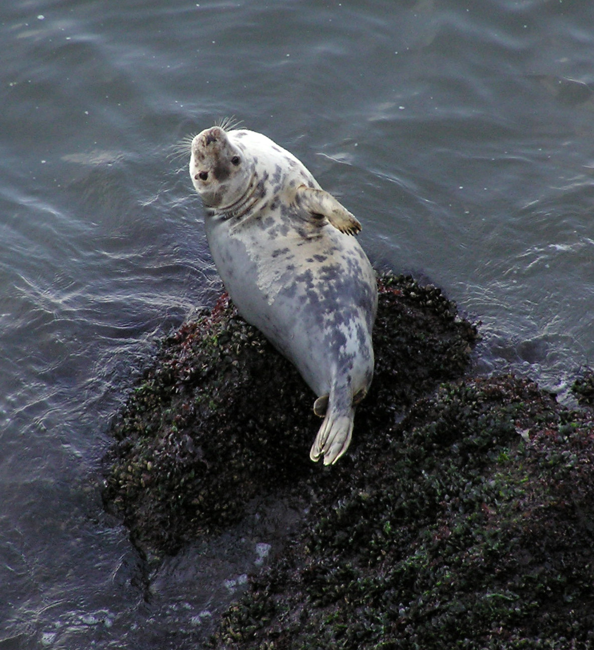 Grey seal Rhossili