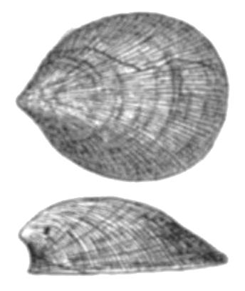 Depiction of Monoplacophora
