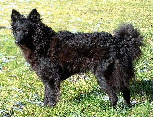 Miscellaneous Dog Breeds