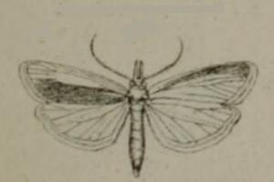 Anerastiini tribe of insects