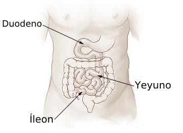 Archivo:Illu small intestine español.png