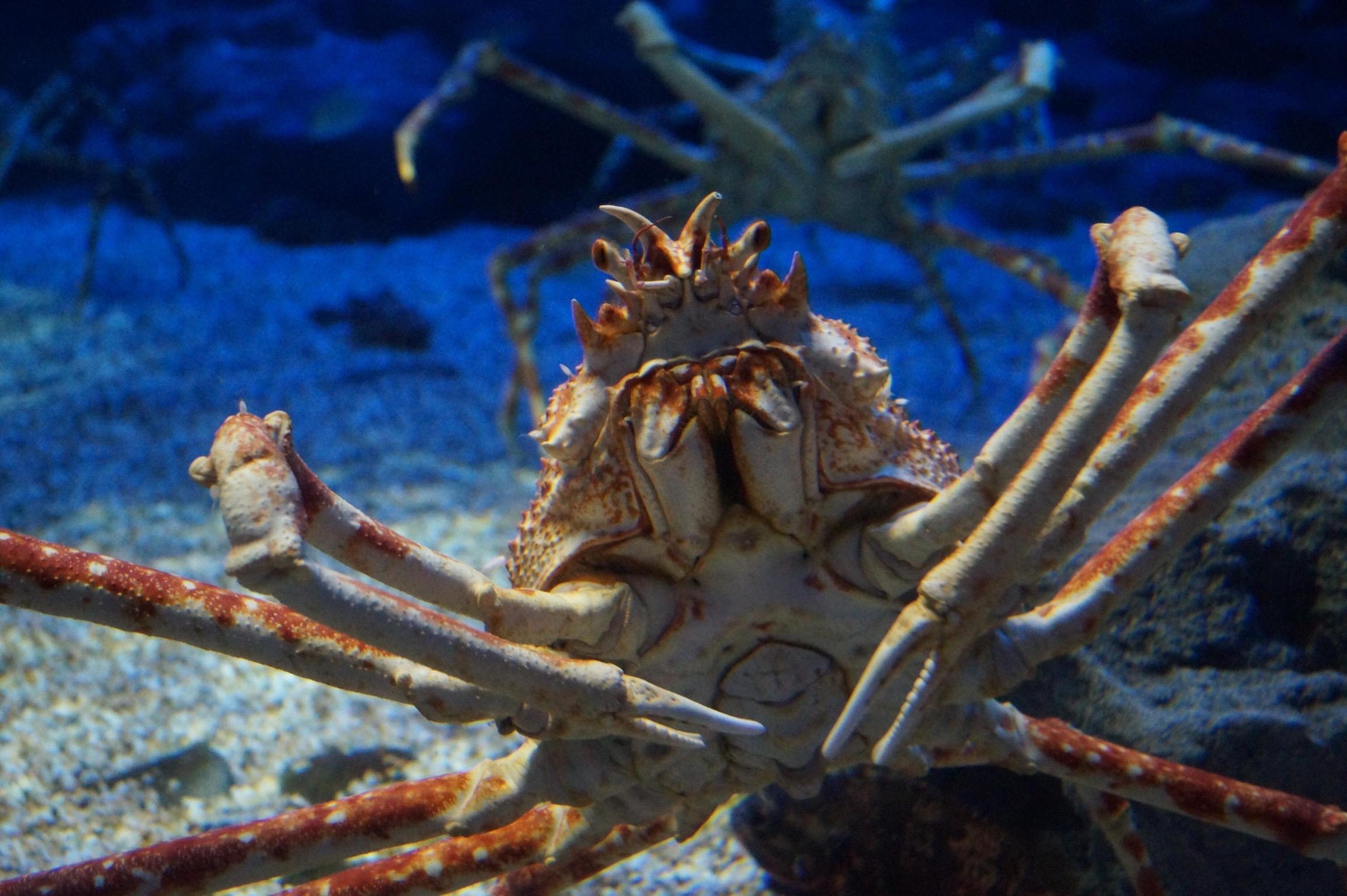 Spider crab - photo#43
