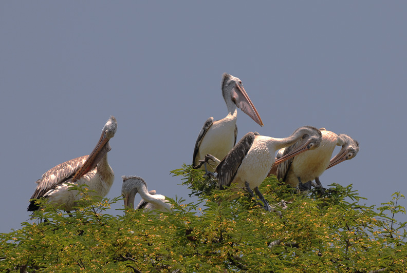Kokrebellur Bird Sanctuary
