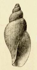 <i>Lusitanops expansus</i> species of mollusc