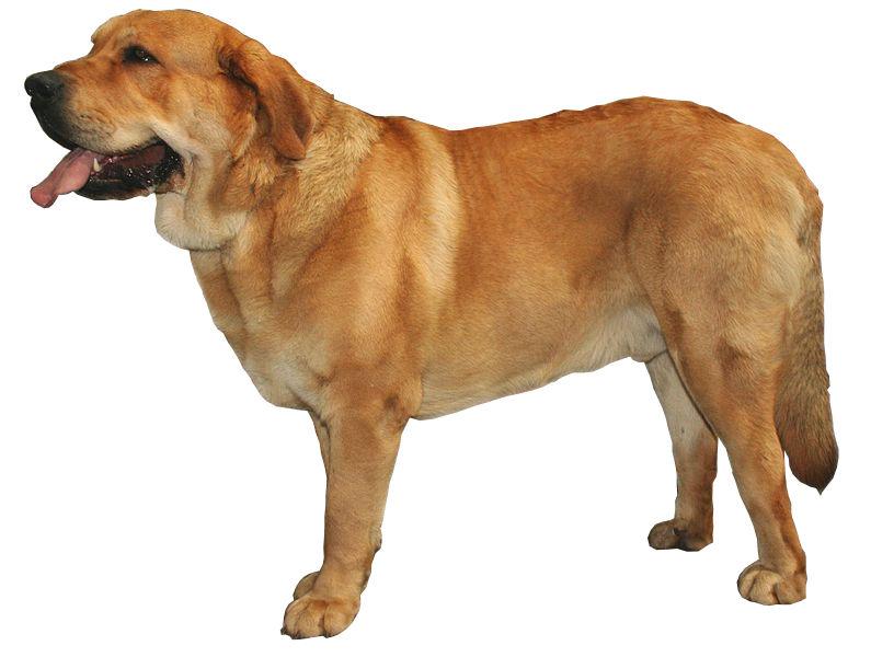 El Mastín español es un perro que tarda en atender órdenes por eso es de suma importancia tener paciencia en su educación