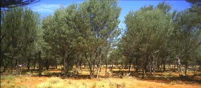 Mulga Woodland