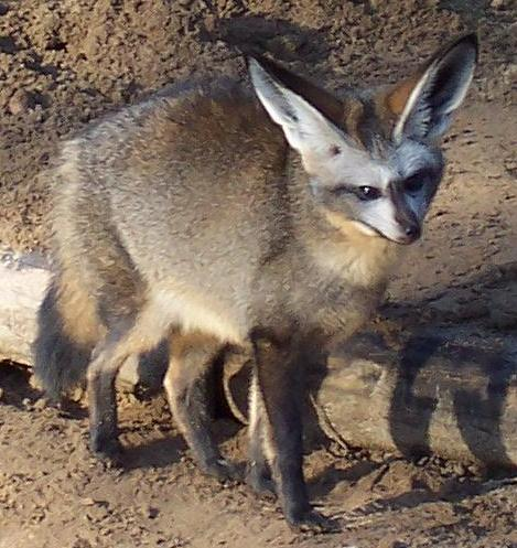 Большеухая лисица