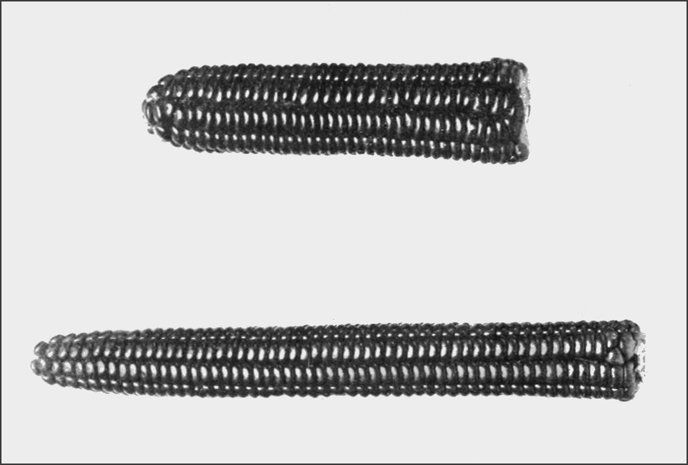 PSM V82 D232 Ancient indian flint corn and its successor.png
