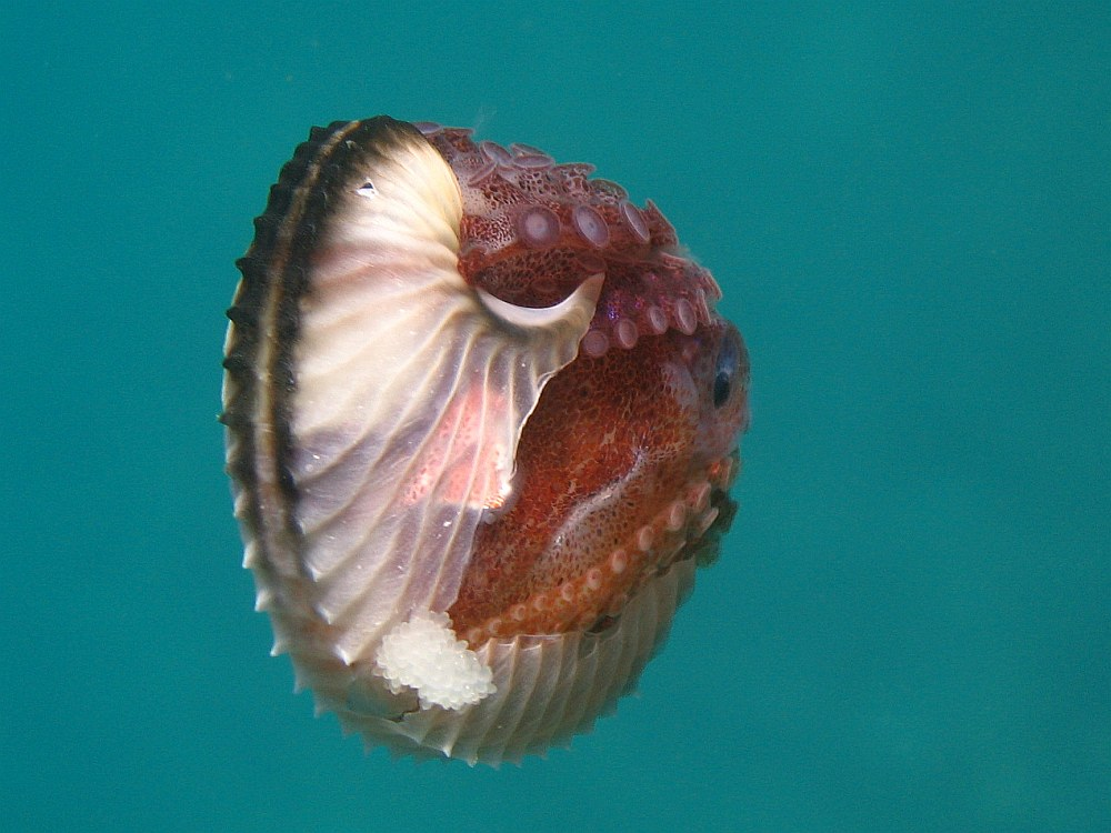 Argonaut Animal Wikipedia