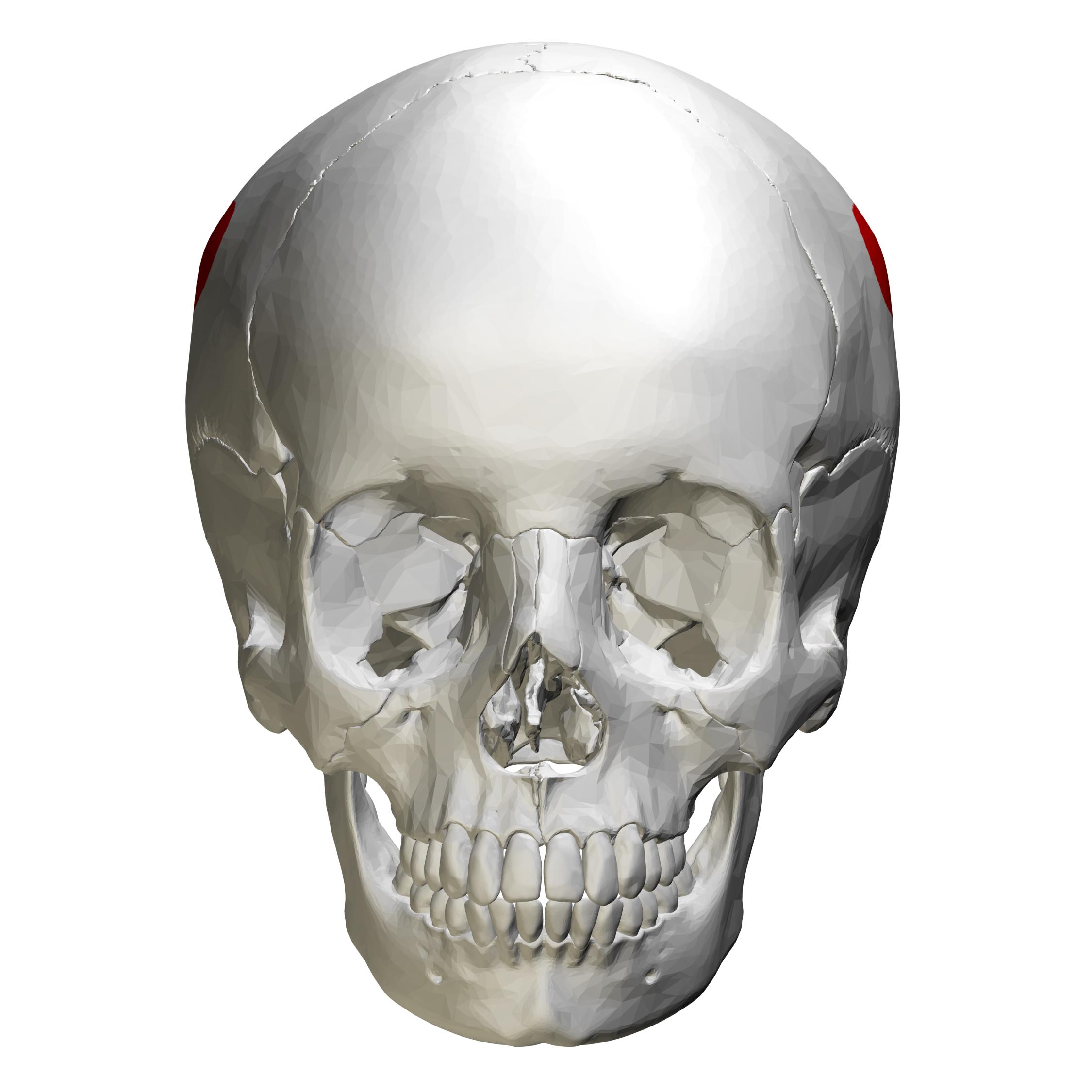 Fileparietal Eminence Skull Anterior View01g Wikimedia Commons