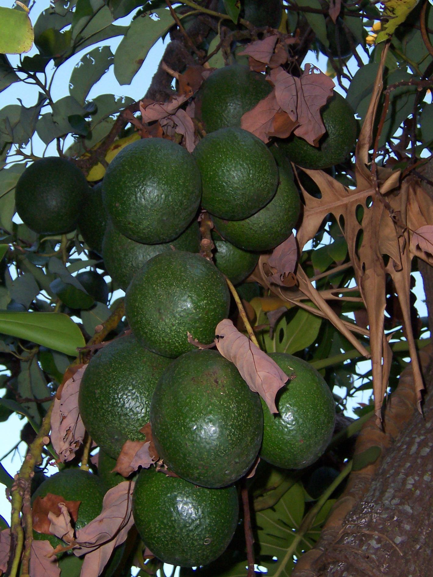 fichier:persea americana fruits 2 — wikipédia