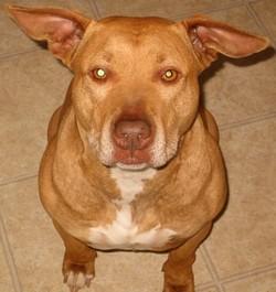 Amerikaanse pitbullterriër - Dog Scanner